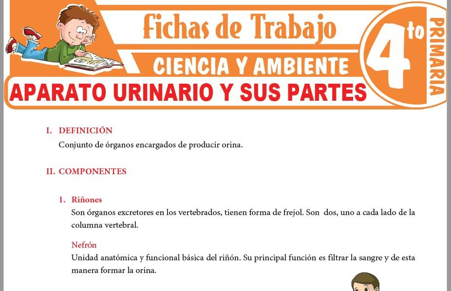 Modelos de la Ficha de Aparato urinario y sus partes para Cuarto de Primaria
